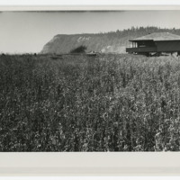 Photograph, View of an unidentified residence set in a field of vegetation (Ms2004-004)